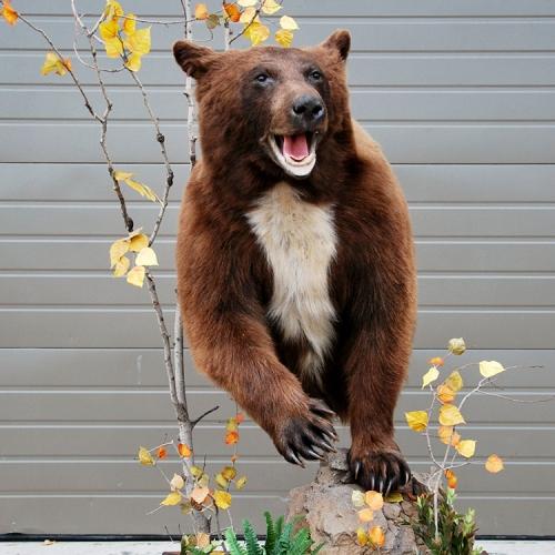 棕熊(半身)