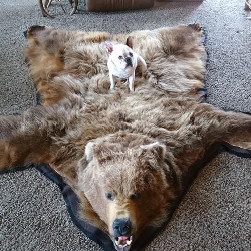 棕熊皮毯2